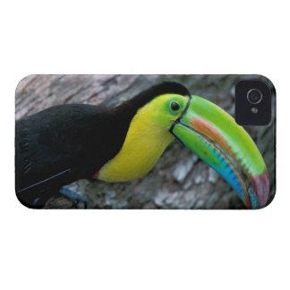 CA, Panama, Barro Colorado Island, Keel-billed iPhone 4 Cover