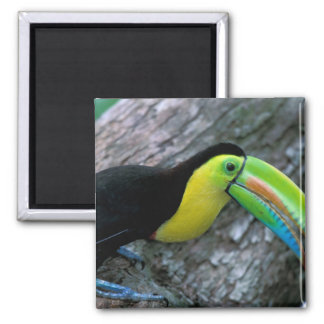 CA, Panama, Barro Colorado Island, Keel-billed Magnet