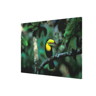 CA, Panama, Soberania NP, Keel-billed Tucan in Stretched Canvas Prints