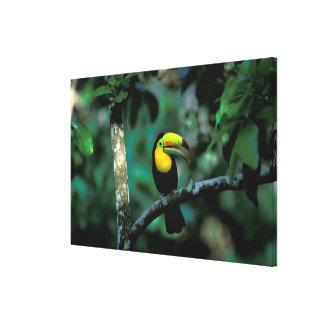 CA, Panama, Soberania NP, Keel-billed Tucan in Gallery Wrap Canvas