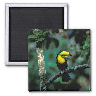 CA, Panama, Soberania NP, Keel-billed Tucan in Magnet