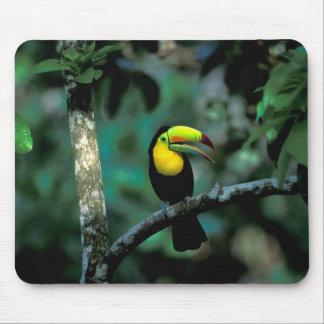 CA, Panama, Soberania NP, Keel-billed Tucan in Mouse Pad