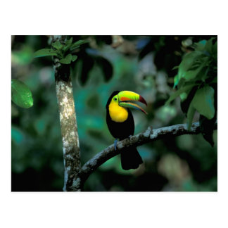 CA, Panama, Soberania NP, Keel-billed Tucan in Postcard