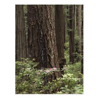 CA, Prairie Creek State Park, Coast Post Cards