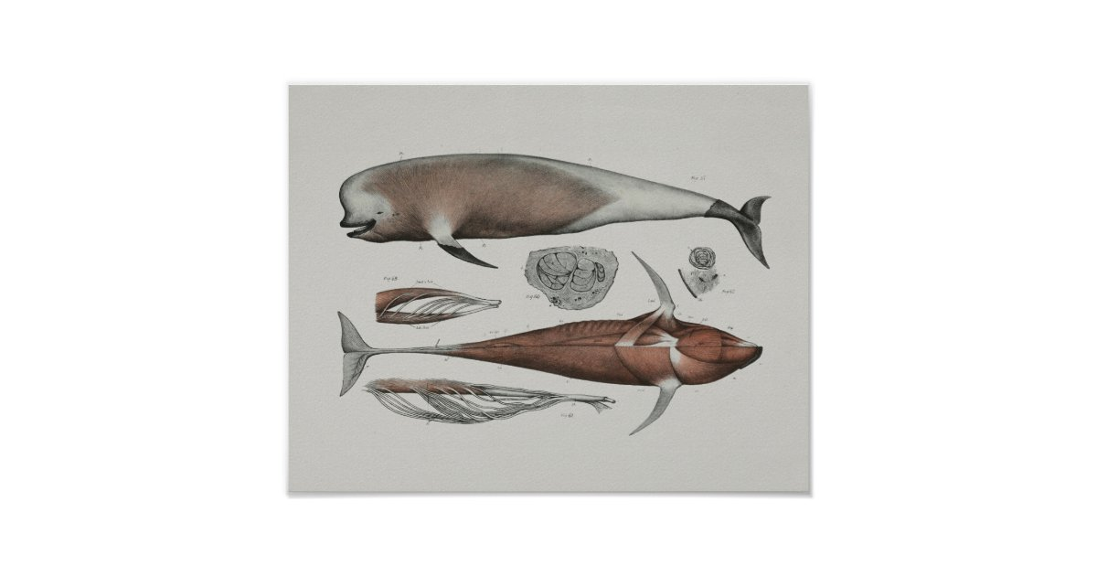 Caaing Pilot Whale Anatomy Print Marine Biology | Zazzle.com
