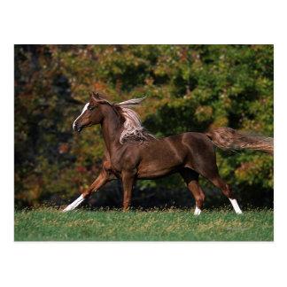 Caballo árabe que corre en campo herboso postal