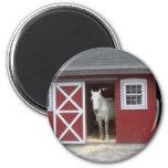 Caballo blanco en granero rojo imanes para frigoríficos