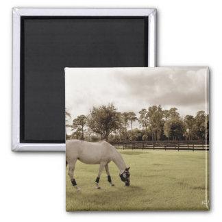 caballo blanco en pasto que pasta viejo estilo imán cuadrado