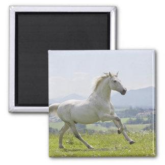 caballo blanco que corre en prado imán cuadrado