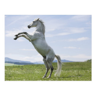 caballo blanco que salta en prado postal