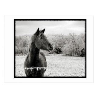 Caballo blanco y negro del invierno postales