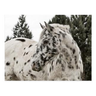 Caballo blanco y negro hermoso del Appaloosa Postal