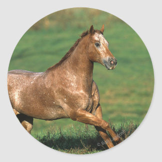 Caballo del Appaloosa que corre en campo herboso Pegatina Redonda