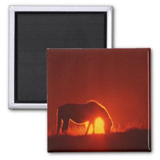 Caballo en puesta del sol roja imán cuadrado