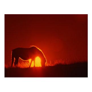 Caballo en puesta del sol roja tarjetas postales