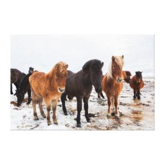 Caballo islandés durante invierno en Islandia Impresión En Lienzo