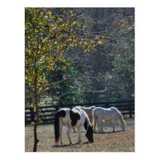 Caballo pintado &White de Brown y caballo de la cr Tarjetas Postales