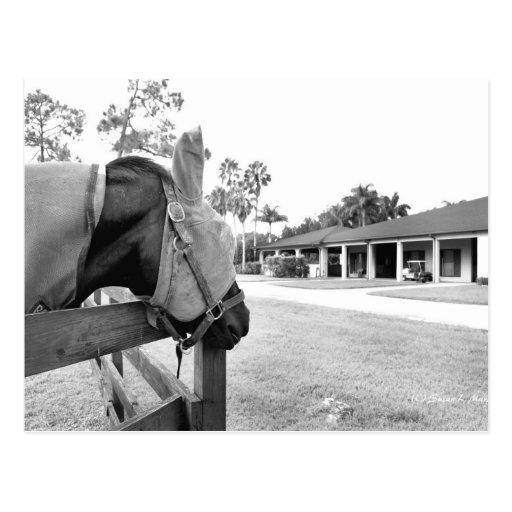 caballo que mira fijamente bw c.jpg del granero postales