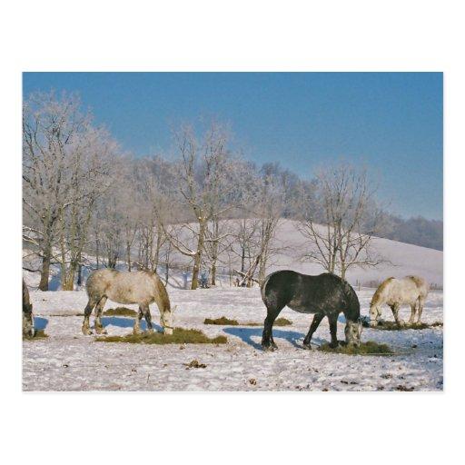 Caballos de Amish en Pasto-Postal Tarjetas Postales