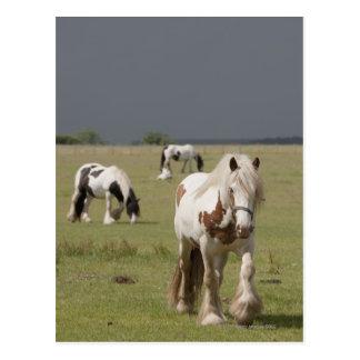 Caballos de Clydesdale en un campo, Postal