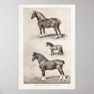 Caballos del belga de Clydesdale Shetland del Póster