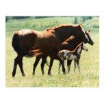 Caballos en campo con el potro del bebé postales