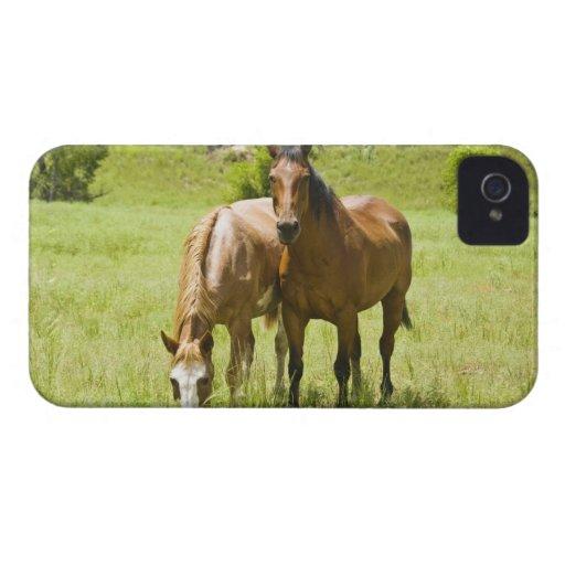 Caballos en el valle de San Rafael, Arizona Case-Mate iPhone 4 Cárcasas