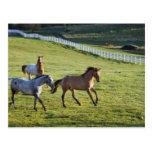 Caballos en pasto cerca de Polson, Montana 2 Tarjeta Postal