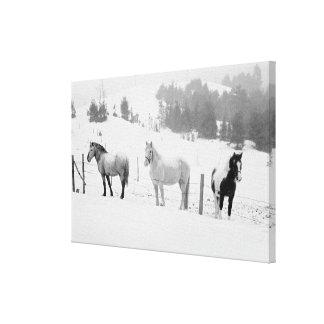 Caballos en rancho lienzo envuelto para galerias