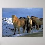Caballos islandeses en invierno impresiones