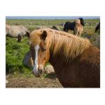 Caballos islandeses en Islandia del noreste Tarjeta Postal