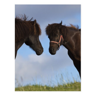 Caballos islandeses que se hacen frente tarjeta postal