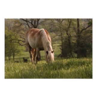 Caballos que pastan en el prado, ensenada de Cades Cojinete