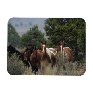 Caballos salvajes 2 del mustango imán rectangular