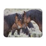 Caballos salvajes (caballus del Equus) en sagebrus Imanes