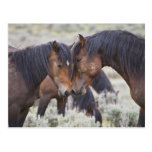 Caballos salvajes (caballus del Equus) en sagebrus Postales