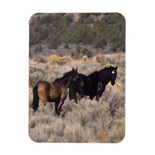 Caballos salvajes del mustango en el desierto 2 imán foto rectangular