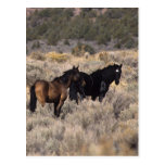 Caballos salvajes del mustango en el desierto 2 postal