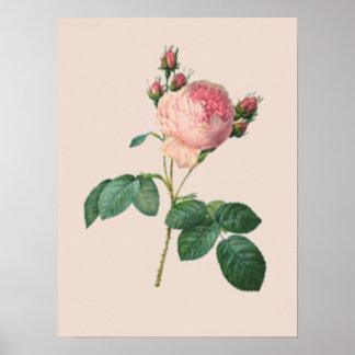 Cabbage Rose Botanical Poster