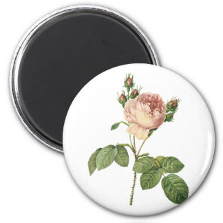 cabbage rose (Rosa centifolia) by Redouté Magnet