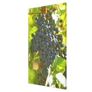 Cabernet Sauvignon grape bunch in the Chateau Canvas Print