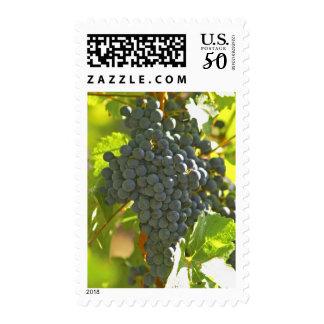 Cabernet Sauvignon grape bunch in the Chateau Postage