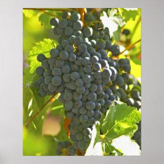 Cabernet Sauvignon grape bunch in the Chateau Poster
