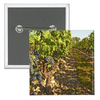 Cabernet Sauvignon vines in a row in the 2 Inch Square Button