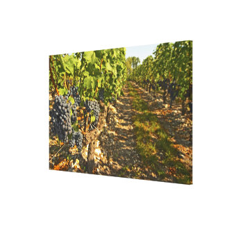 Cabernet Sauvignon vines in a row in the Stretched Canvas Print