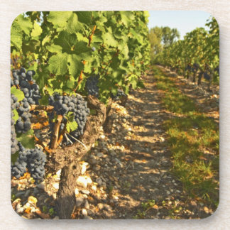 Cabernet Sauvignon vines in a row in the Coaster