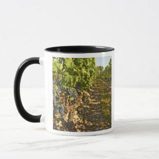 Cabernet Sauvignon vines in a row in the Mug