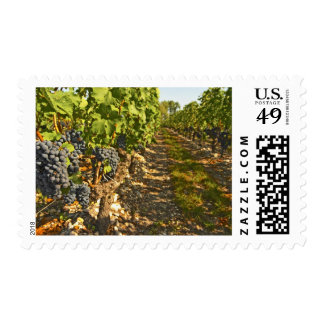 Cabernet Sauvignon vines in a row in the Postage