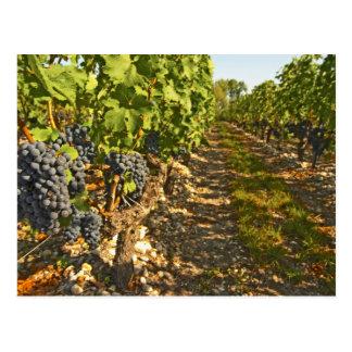 Cabernet Sauvignon vines in a row in the Postcard