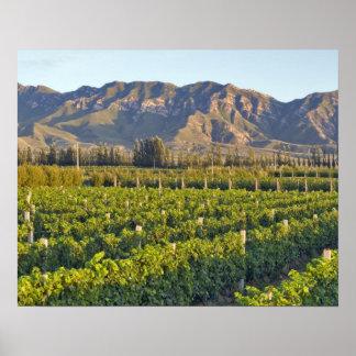 Cabernet Sauvignon vines in Huailai Rongchen 2 Poster